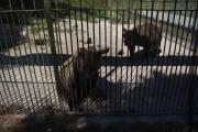 Cumberland Wildpark - hnědy medvěd vypadal přátelsky