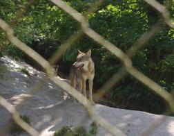 Cumberland Wildpark - vlk již tak přátelsky nevypadal :-)