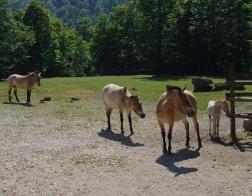 Cumberland Wildpark - divocí koně