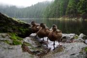 Sumava - Teufels-See (ducks)