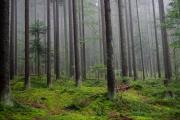 Sumava - misty forest