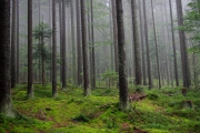 Sumava - misty forest