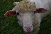 Šumava - sheep
