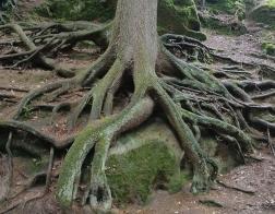Kokořínsko - rozsáhlý kořenový systém zajímavého rozsáhlého stromu