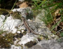 Slovinsko - ještěrka nedaleko Bledského hradu :-)