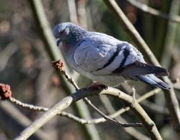 Česká republika - holub na stromě :-)
