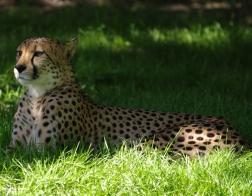 Česká republika - Zoo Dvůr Králové, gepard