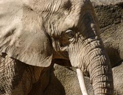 Česká republika - Zoo Dvůr Králové, slon