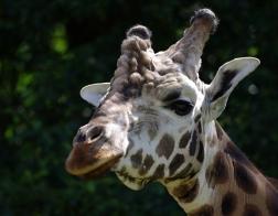 Zoo Dvůr Králové - Venkovní safari, žirafa