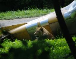 Zoo Dvůr Králové - Venkovní safari, lvi