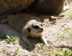 Zoo Dvůr Králové - Surikaty