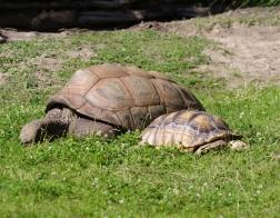 Zoo Dvůr Králové - Želva sloní