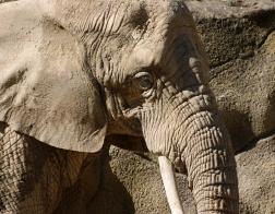 Zoo Dvůr Králové - Slon africký