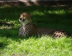 Zoo Dvůr Králové - Gepard