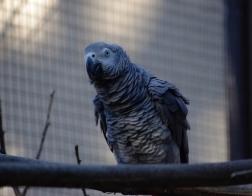 Zoo Dvůr Králové - Žako šedý